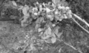 Сорта голубики садовой: 50 лучших видов с описанием и характеристиками + фото