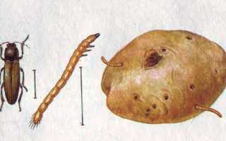Жук щелкун (проволочник) на картошке: описание и борьба с фото