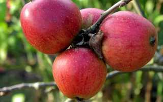 Яблоня Баяна: описание сорта, характеристики и выращивание с фото