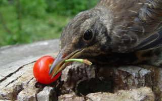 Как защитить черешню от птиц: ультразвуковые отпугиватели и громпушки, отражатели и сетки