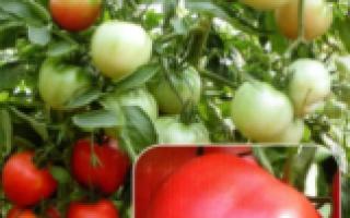 Томат Розовый ангел: характеристика и описание сорта, выращивание и урожайность с фото
