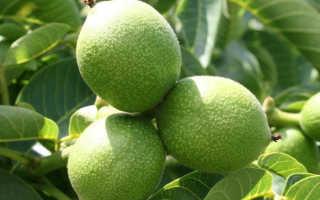 Walnut Ideal: характеристики и описание сорта, отзывы, фото, производительность