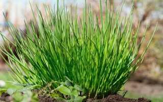 Шнитт-лук: описание сортов, выращивание и урожайность с фото