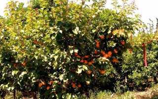 Гибриды сливы и абрикоса