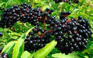 Плоды бузины черной: лечебные свойства и противопоказания, польза и вред