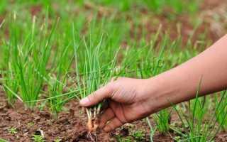 Чем подкормить лук, чтобы был крупный весной и летом: народные средства