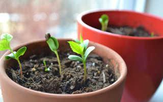 Как вырастить черешню из косточки в домашних условиях и можно ли