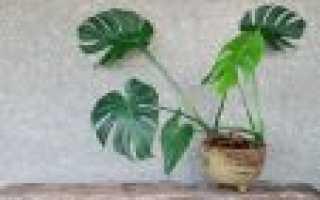 Монстр: уход в домашних условиях и правила выращивания