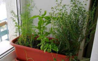 Тимьян (чабрец): выращивание дома в горшке на подоконнике и уход