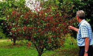 Карликовая вишня: описание лучших сортов, посадка и уход, борьба с заболеваниями