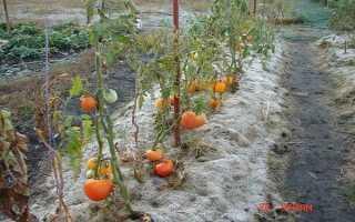 Выращивание томатов в Сибири: как правильно, лучшие сорта
