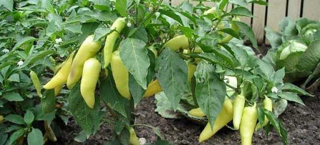 Чем подкормить перцы после высадки в теплицу: какие удобрения и когда использовать
