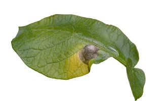 Альтернариоз картофеля: описание и лечение, основные меры борьбы
