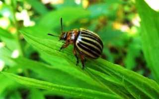 Палач отрава от колорадского жука: инструкция по применению