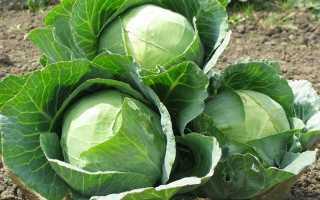Йод для капусты: подкормка и правильная обработка в открытом грунте