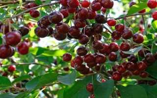 Вишня Антрацитовая: описание сорта и характеристики урожайности, выращивание и уход