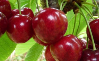 Вишня Ровесница: описание сорта и характеристика, особенности выращивания