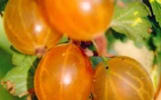 Крыжовник Русский желтый: описание сорта, выращивание и уход с фото