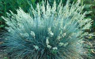 Овсяница: посадка и уход в полевых условиях, выращивание из семян