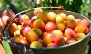 Абрикос Олимп: описание сорта, характеристики урожайности и выращивание с фото