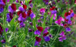 Душистый горошек: описание 30 сортов и видов, посадка и выращивание из семян