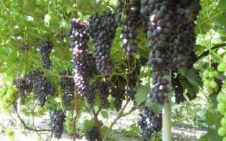 Виноград Чарли: описание сорта и выращивание, преимущества и недостатки