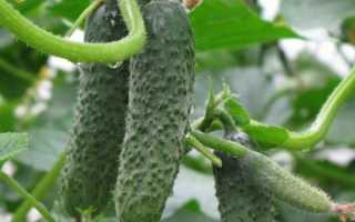 Огурец Пасалимо: описание и характеристика сорта, уход и урожайность с фото
