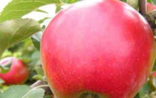 Яблоня Афродита: описание и характеристики сорта, отзывы садоводов с фото