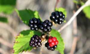 Ежевика на Урале: посадка и уход, лучшие сорта и выращивание с фото