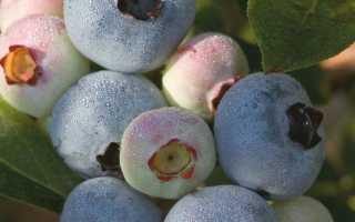 Голубика Чандлер: описание сорта, посадка, уход и зимовка, отзывы садоводов с фото