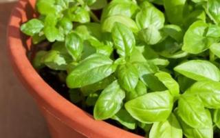 Как вырастить базилик на подоконнике из семян в домашних условиях