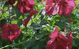 Гибискус садовый: уход и размножение, посадка и выращивание в открытом грунте