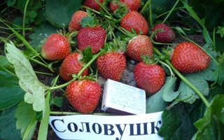 Клубника Соловушка: описание и характеристики сорта, особенности выращивания