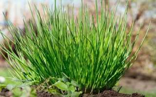 Многолетний лук: описание и виды сорта, выращивание и уход с фото