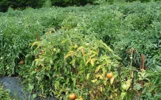 Фузариозное увядание томатов: лечение и профилактика