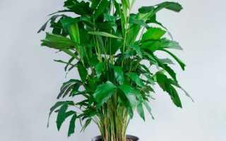 Пальма Кариота: уход в домашних условиях, пересадка и размножение