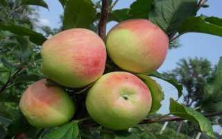 Яблоня Строевское: описание и характеристики сорта, выращивание и уход с фото
