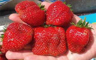Клубника Вима Ксима: описание сорта и характеристики, выращивание и размножение