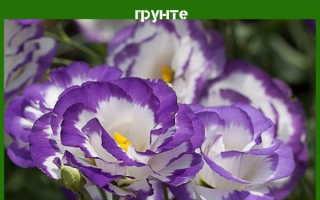 Эустома: выращивание и уход в открытом грунте, описание сортов и размножение