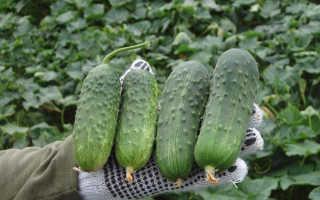 Лучшие сорта огурцов для теплиц из поликарбоната: описание самых урожайных