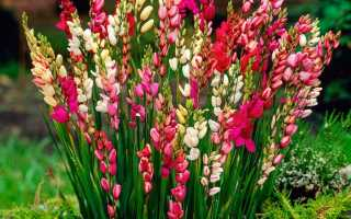 Иксия: посадка и уход в открытом грунте, выращивание в саду, описание лучших сортов