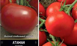 Томат Атаман: характеристика и описание сорта урожайность с фото