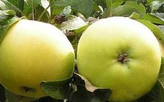 Яблоня Желтое сахарное: описание сорта и характеристики, история селекции с фото