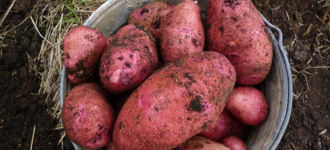 Картофель Родриго: характеристика и описание сорта, отзывы садоводов с фото