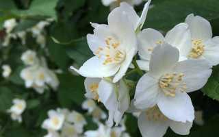 Обрезка Hikwica: диаграмма обрезки жасмина после цветения