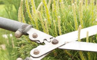 Сосны обрезки: как правильно образуют сосны в саду, чтобы они не растут, и они были пышными?