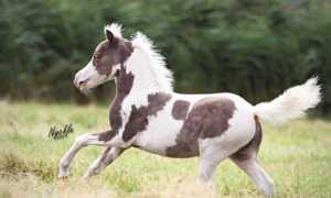 Мини-лошадь: описание карликовых пород, правила ухода и самые маленькие особи