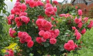 Роза Симпатия плетистая: описание и характеристики сорта, посадка и уход