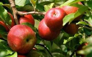 Яблоня Женева: описание и характеристики сорта, сроки посадки и выращивание