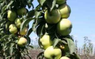 Колоновидная яблоня: сорта для Подмосковья с описанием, лучшие с фото